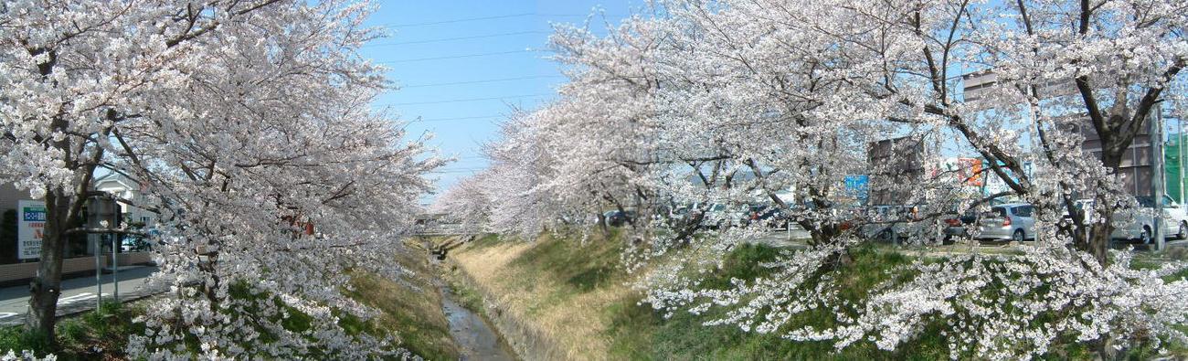 高蔵寺新繁田川の桜