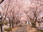 広域緑道(水道道)の桜