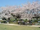 朝宮公園の桜