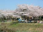 八田川の桜