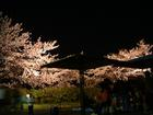 八田川の夜桜