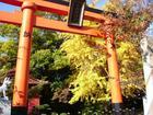 柏井稲荷神社のイチョウ